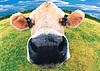 HP Labs vytvořilo projekt datového centra běžícího s využitím odpadu z chovu krav